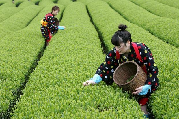 Green Tea and Matcha Powder