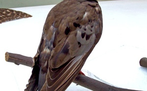 "Hundred Years Of Passenger Pigeon""Martha"" Death, It Was Totally Our Fault"