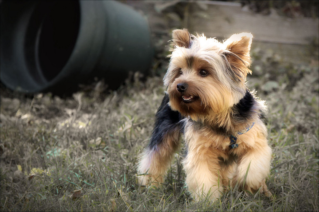 A Definitive Guide To Get The Best Yorkshire Terrier Puppy!